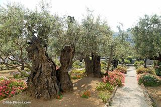 Garden-of-Gethsemane-olive-trees,-tb051906423-bibleplaces